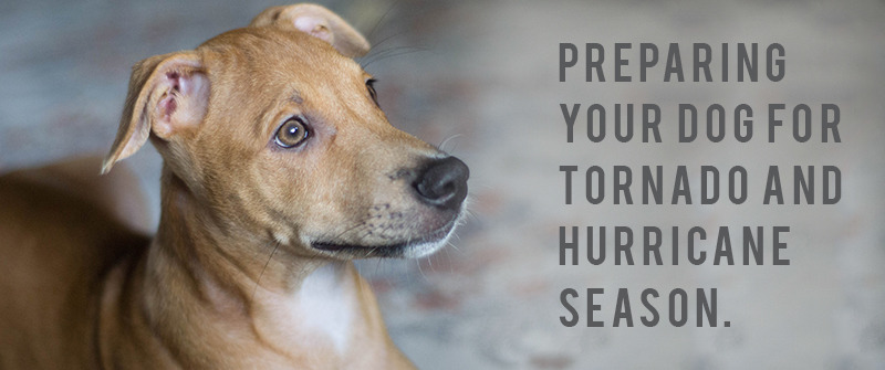 small brown dog laying on a rug looking to the right of the camera. The text of preparing your dog for tornado and hurricane season is displayed to the right of the dog