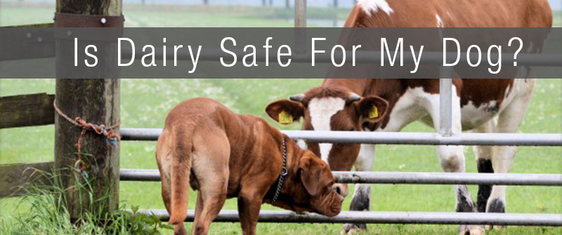 a large brown dog looking through a cattle gate at a large brown and white cow in a field. The text of is dairy safe for my dog is displayed above on a gray background