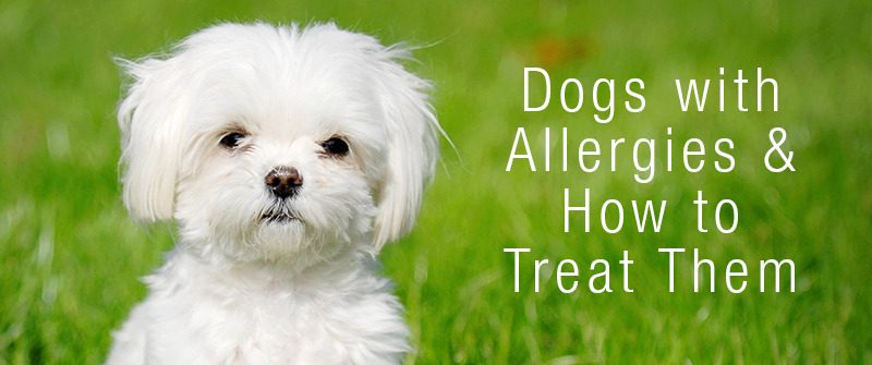 Dogs with Allergies & How to Treat those Allergies