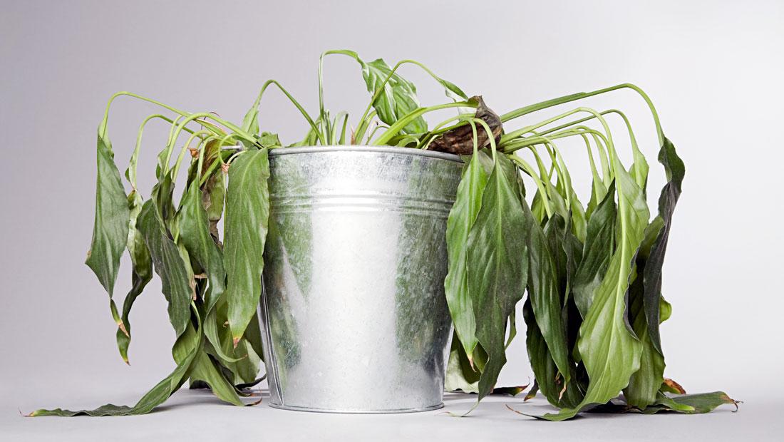 stressed plant