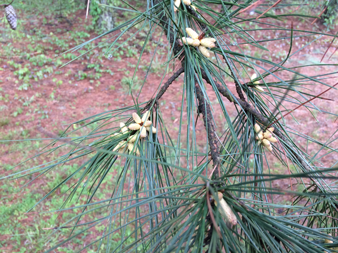 7 Ways to Use Pine Trees for Food and Medicine, Year-round - The