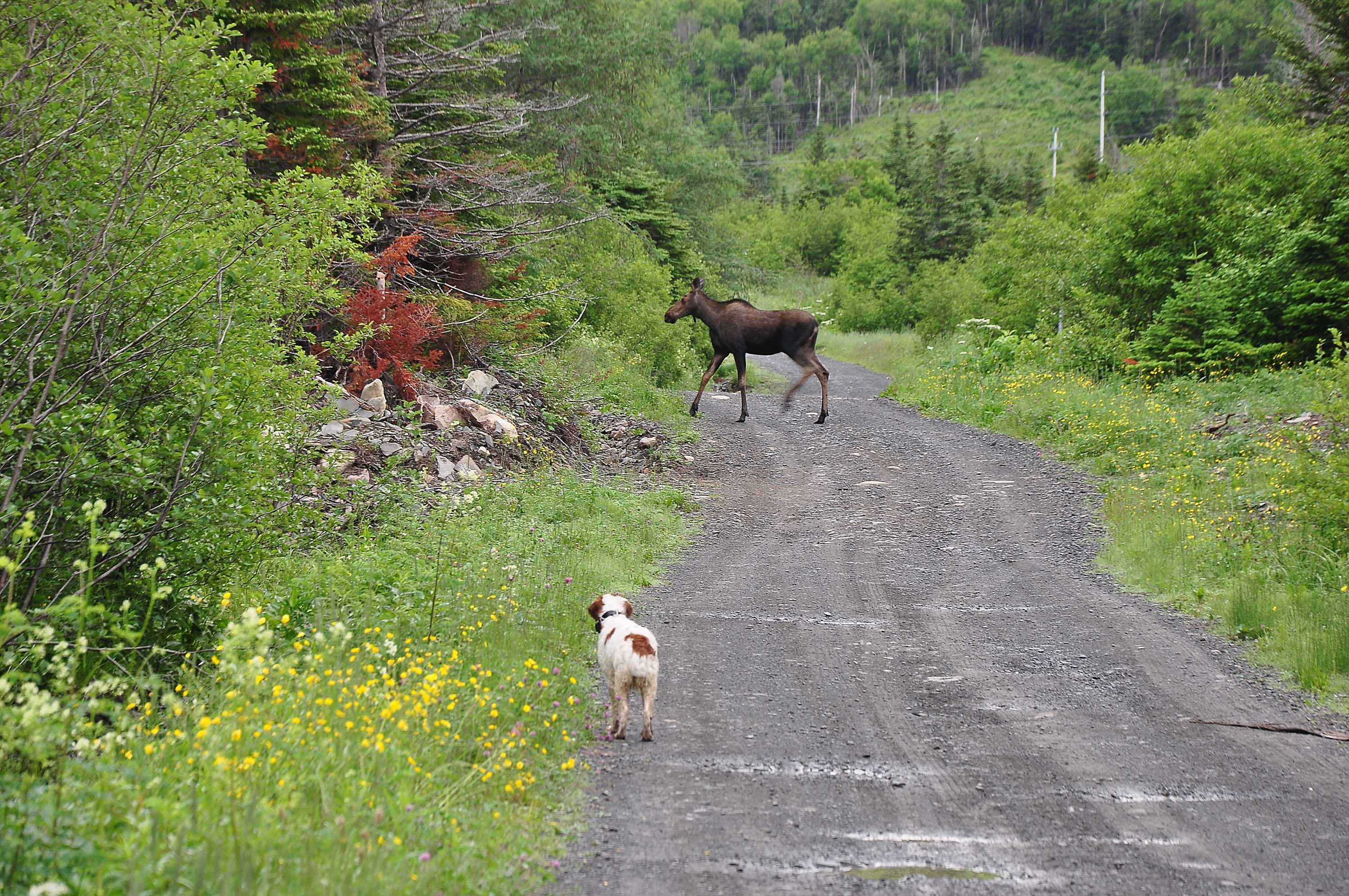 Dog chasing a moose into the woods